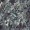 Liquen crustáceo escamoso / Lichen squamulose