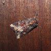 Yellow-headed Cutworm Moth
