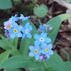 Forget-me-not (Wildflowers)