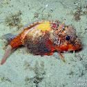 Painted Stingfish (juvenile)
