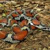 Red x Eastern milk snake