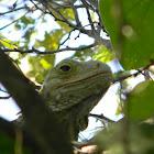Iguana - Green Iguana
