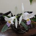 Orchid Catleya