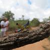Orthoptera colorful
