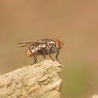 unknown blowfly