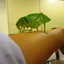 Green Leaf Insect