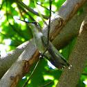 Ruby Throated Hummingbird (female)