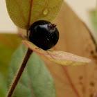 Honysuckle fruit