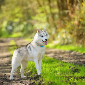 by Paweł Prus - Animals - Dogs Portraits ( intelligent, almond, breed, canis, colorful, pull, show, harsh, spring, colour, leafs, family, icee, husky, grey, coat, sibe, forest, portrait, color, female, pet, outdoor, fall, lupus, ears, active, bitch, brown, dense, dog )