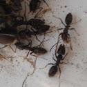 Ant, Formiga