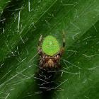 Eriophora Spider
