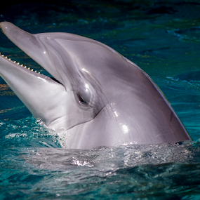 by Victor Martin - Animals Other Mammals ( dolphin, laugh, happy, smile, mammal, animal,  )