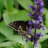 black swallowtail or American Swallowtail