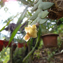 The Lion-Like Dendrobium