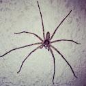 brown huntsman spider
