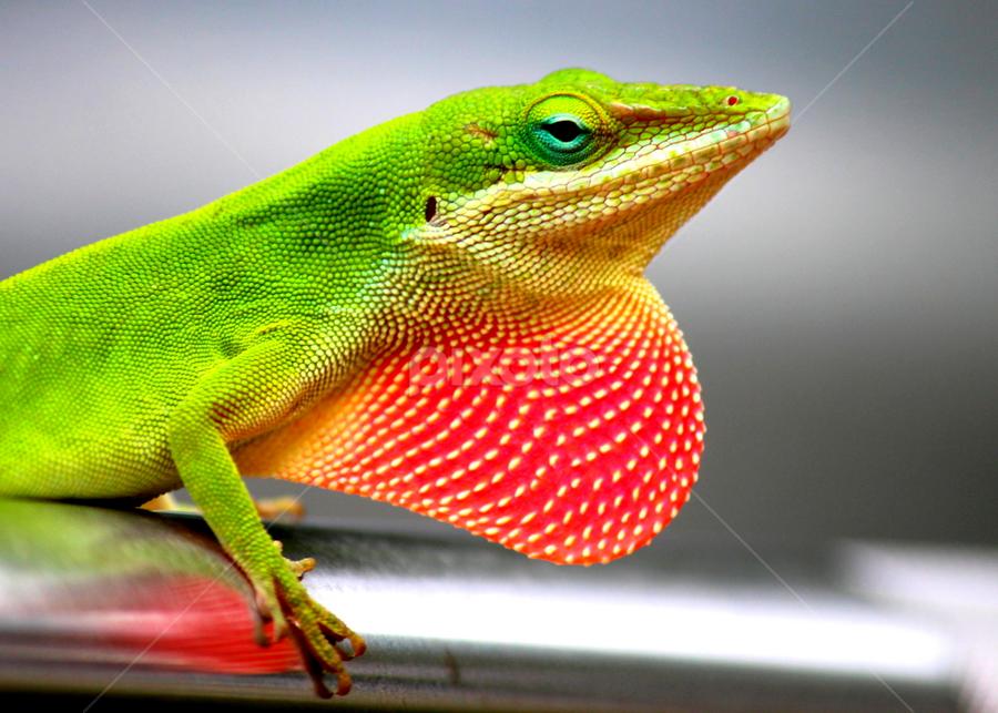 Lizzy 1 by Terri W - Animals Reptiles ( lizard, color, green, reptile,  )
