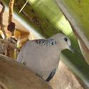 Spotted Dove / Manipura (மணிப்புறா)