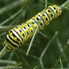 Black swallowtail caterpillar (3rd instar)