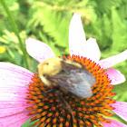 Golden hairy bee female