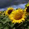 sun-flower-daliana.jpg