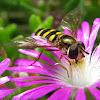 American Hover Fly - female