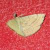 Anthela habroptila (♂)