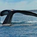 Majestic Whales Live Wallpaper icon