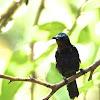Copper-throated Sunbird - male