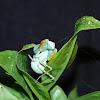 Common green mantis