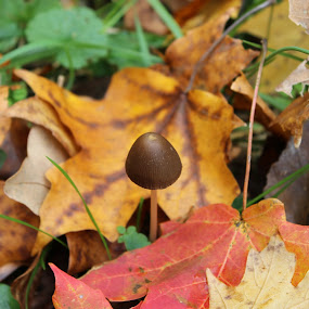 by Karin Pelton - Uncategorized All Uncategorized ( mushroom, fall, brown, yellow, leaves )