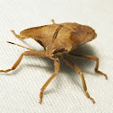 Golden Stink Bug