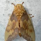 Reagal moth
