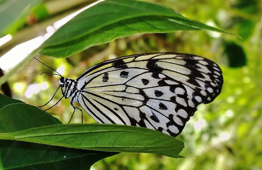 White butterfly by Verinda Bosch - Instagram & Mobile Other ( butterfly )