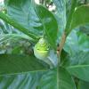 Oleander Hawk Moth Caterpillar