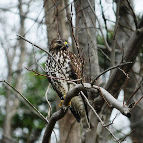 Handsome Hawk in a tree near our home in Cypress Creek, NC by Goose Gander - Animals Birds