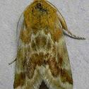 Aluring Schinia Moth