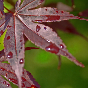 maple in the rain by Skye Stevens - Nature Up Close Leaves & Grasses (  )