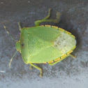 Green Stink Bug/Green Soldier Bug
