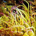 Snakelocks anemone (Wachsrose)