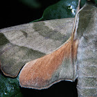 Virginia Creeper Sphinx Moth #7885