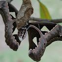 Giant Rothschildia Silkmoth