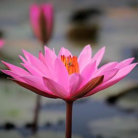 Lotus Flower by Assaifi Fajarmass - Flowers Single Flower ( pink flower, bee, pink )