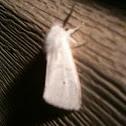 Virginia tiger moth.