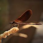 Copper Demoiselle