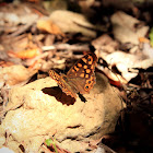 Speckled Wood (Southern Form)