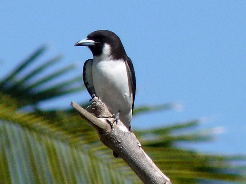 Fiji Woodswallow