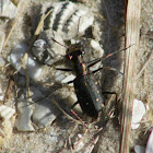 Ocellated Tiger Beetle