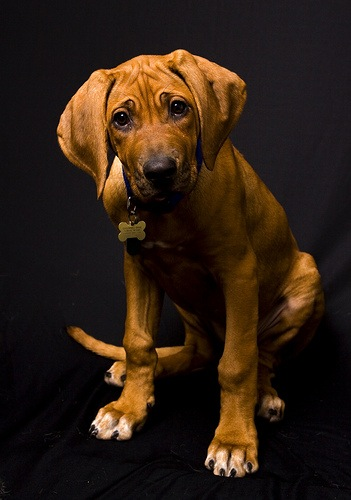 Puppyness by Verity Ogilvy - Animals - Dogs Portraits ( ridgeback, puppy, rhodesian )