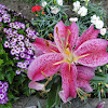 Japanese Lily