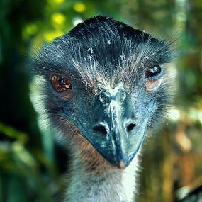 heemm? by Benaya Agung - Animals Birds ( bird, potrait bird, fowl, ostrich, wildlife, animal,  )